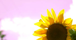 Pretty in pink. Sunflower with a pink background stock photography