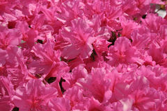 Pretty in pink. Pink bundle of flowers blooming in sunlight Stock Image