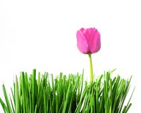 Pretty & pink. Pink tulip in green grass, on white Royalty Free Stock Photo