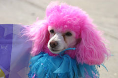 Pretty in Pink. A pink poodle in a jester's outfit Stock Photo