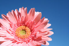 Pretty pink barberton daisy. Closeup single gerbera jamesonii against blue sky showing its bright colors Royalty Free Stock Photography