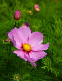 Pretty in Pink. A beautiful pink cosmos putting on a happy face Stock Image