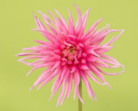 Pretty pink blooming chrysanthemum Royalty Free Stock Photography