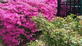 Pretty in pink. Blossoms make up this decorative vibrantly colored bush. It will brighten up any landscape design. will royalty free stock photography