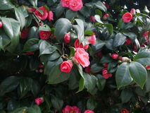 Pretty pink camellias growing on a shrub. Pretty pink camellias growing on an evergreen shrub outdoors in the garden cultivated for their ornamental flowers Royalty Free Stock Photography