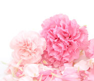 Pretty Pink Carnations Background. Two pretty, pink carnations are in the foreground of a white, isolated background. There are petals around them. Add your text Stock Image