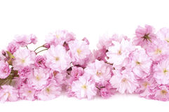 Pretty Pink Cherry Blossom Branch  Isolated on White Wood Table with White Background Copy Space or Room for Text Above. Stock Images