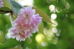 Pretty pink cherry blossom tree Stock Image