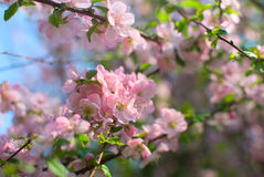 Pretty pink cherry branch in the garden Royalty Free Stock Images