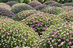 Pretty pink Chrysanthemums Stock Photography