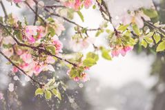 Pretty in Pink Crab-apple Blossoms Stock Image