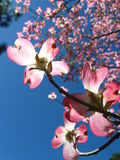 Pretty in Pink Dogwood Flowers Royalty Free Stock Photo