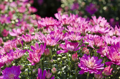 Pretty Pink Fall  Chrysanthemums Royalty Free Stock Photo
