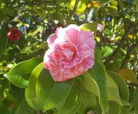 Pink flower on the tree. Pretty pink flower on the tree royalty free stock photos