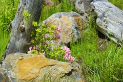 Pretty pink flowering plant against a wood post. Stock Images