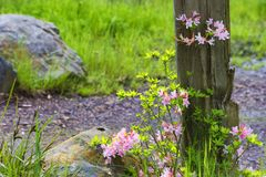 Pretty pink flowering plant against a wood post. Royalty Free Stock Images