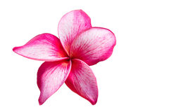Pretty pink flowers With white background isolated clipping path. stock photography
