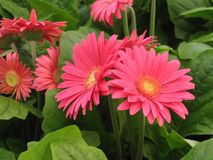 Pink Gerber Daisies. Pretty Pink Gerber Daisies for the summer stock image