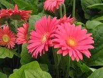 Pink Gerber Daisies Stock Image