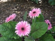 Pretty pink gerberas amoungst green leaves stock image