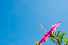 Pretty Pink Hibiscus. Affirmation facing the sky Royalty Free Stock Photo