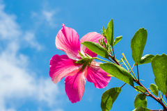 Pretty Pink Hibiscus. Affirmation to the sky Royalty Free Stock Images