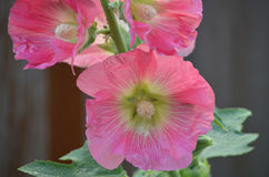 Pretty Pink Hollyhock Flowering and Blooming Stock Photo