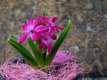 Pretty pink hyacinth blooming flowers in pot Stock Photo
