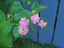 Pretty pink Lantana flowers against a blue wooden fence. Pretty pink wild Lantana blooms against a blue wooden fence royalty free stock image