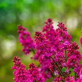 Pretty Pink Lilac royalty free stock photo