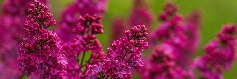 Pretty Pink Lilac stock photography