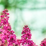 Pretty Pink Lilac royalty free stock photography