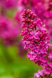 Pretty Pink Lilac stock photos