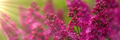 Pretty Pink Lilac stock photo