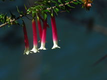 Pretty pink native fuchsia Stock Images