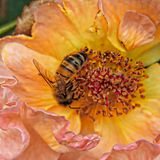 Pretty Pink Orange Rose with Bee Royalty Free Stock Images