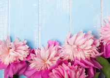 Pretty pink peonies on blue colored wooden background Stock Photography