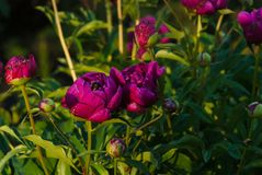 Pretty Pink Peonies Flowers stock photography