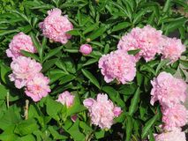 Pretty in pink peonies -- smell their sweet fragrance?. Pink peonies in a large bush surrounded by lush green leaves and by the bud and fully in bloom -- they royalty free stock image