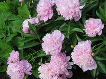 Pretty in pink peonies -- smell their sweet fragrance?. Pink peonies in a large bush surrounded by lush green leaves and by the bud and fully in bloom -- they stock image