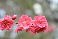 Pretty pink plum blossoms freshly popped for spring in Japan Stock Images