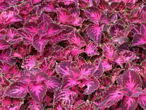Pretty Pink and Red Colored Leaves in Spring. Photo of pretty pink and red colored leaves in spring in june stock image
