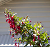 Pretty pink and red single fuchsia  in summer flower. Royalty Free Stock Photography