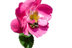 Pretty pink rose with a bee on it. Stock Photo