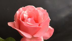 Pretty pink rose blossoming out