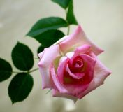 Delightful Pink Rose. Pretty pink rose in a glass vase brighten the day for you, a friend or a co-worker royalty free stock photos