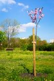 Pretty pink spring blossom on a Prunus serrulata