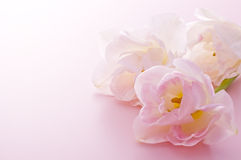 Pretty Pink tulips. Pink tulips on pink background Royalty Free Stock Photo