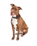 Pretty Pit Bull Dog Sitting royalty free stock photos