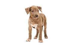 Pretty pit bull puppy Stock Images